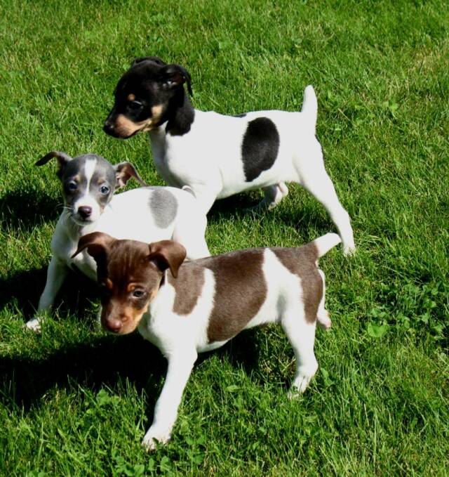Rat Terrier Breeder And Puppies In Washington State
