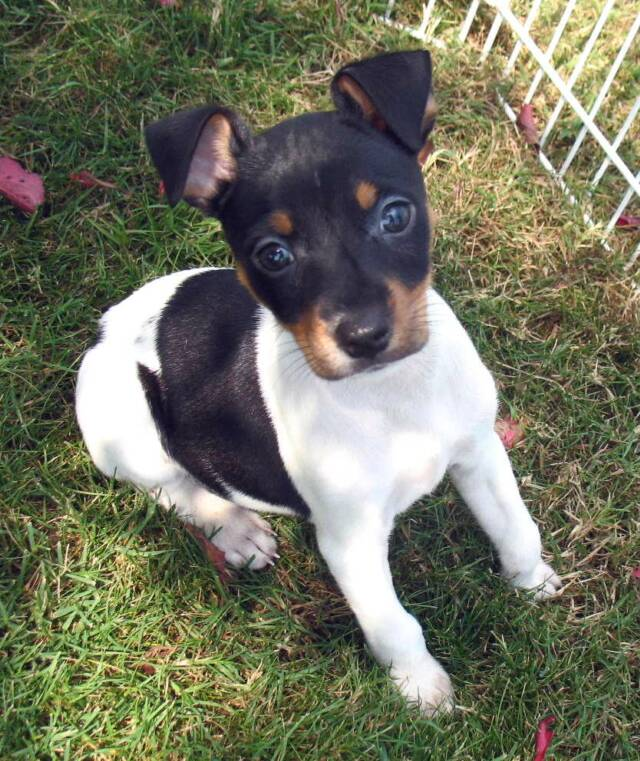 Rat Terrier and Papillon pup pictures