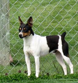 Image result for rat terrier puppies